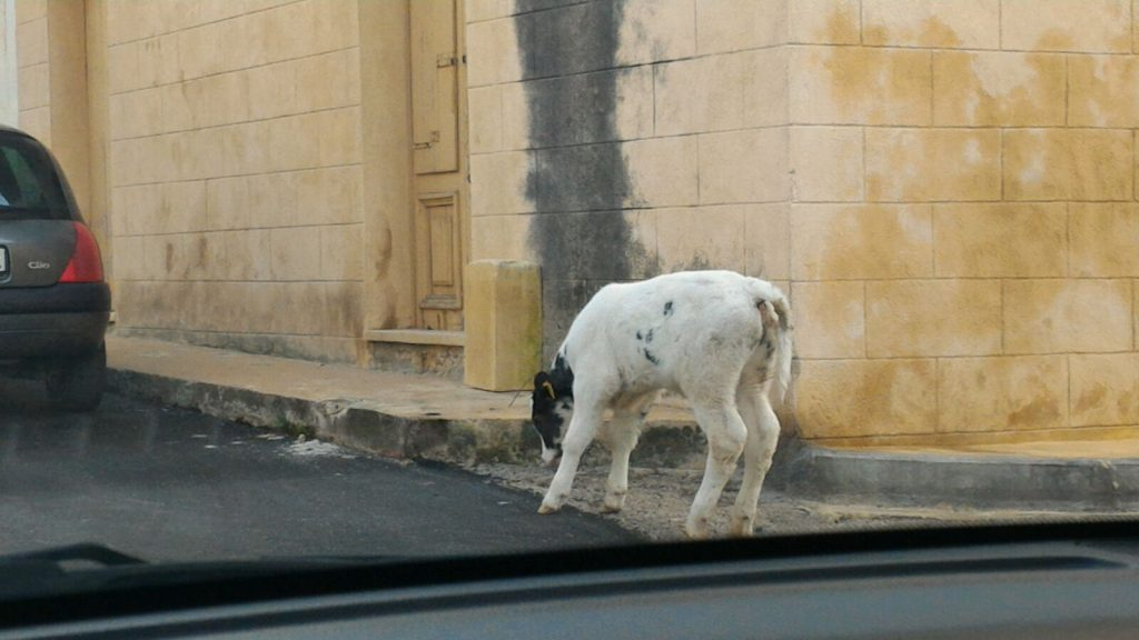 A veal on the road