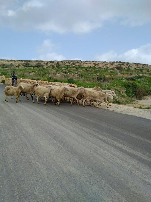 Sheeps on the road to Hondoq Bay