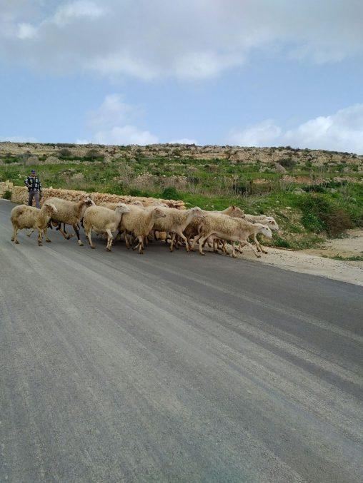 Sheeps on the road to Hondoq Bay