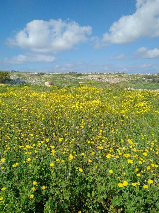 Gozo Yellow flowers