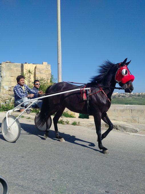 Trotting Horse in Gozo